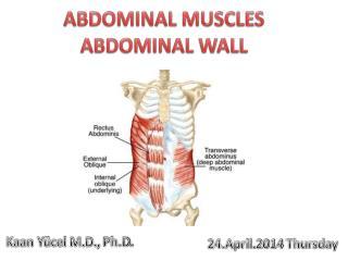 ABDOMINAL MUSCLES ABDOMINAL WALL
