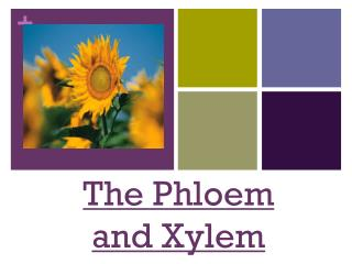 The Phloem and Xylem