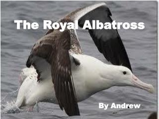 The Royal Albatross