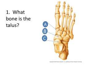 1.  What bone is the talus?