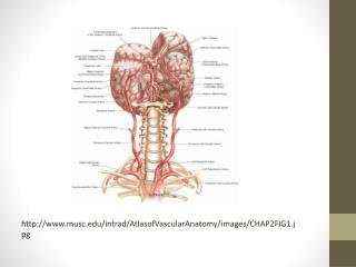 http:// www.musc.edu / intrad / AtlasofVascularAnatomy /images/CHAP2FIG1.jpg