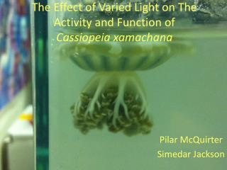 The  Effect  of  Varied Light on The Activity and Function  of  Cassiopeia  x amachana