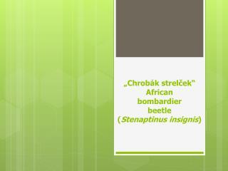 """Chrobák  strelček "" African bombardier beetle ( Stenaptinus insignis )"