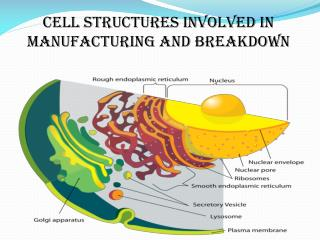 CELL STRUCTURES INVOLVED IN MANUFACTURING AND BREAKDOWN