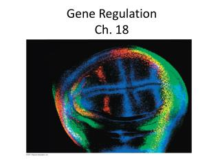Gene Regulation Ch. 18