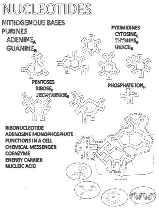 NUCLEOTIDES NITROGENOUS BASES PURINES   ADENINE A   GUANINE B