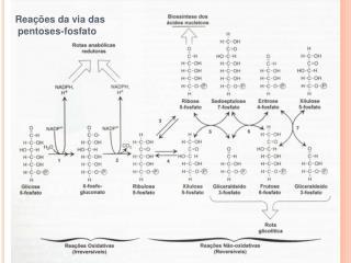 Reações da via das  pentoses-fosfato