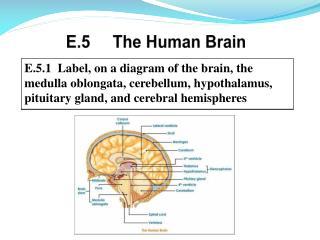 E.5     The Human Brain