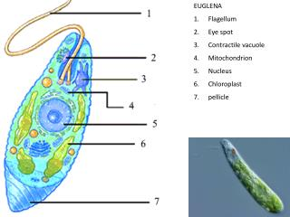 EUGLENA Flagellum Eye spot Contractile vacuole Mitochondrion Nucleus Chloroplast pellicle