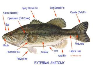 Internal and External Anatomy of a Fish � words you will need to know Scales Caudal Fin