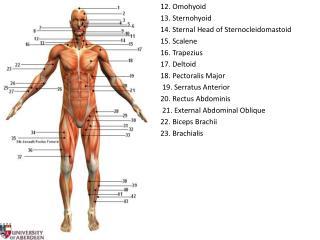 12. Omohyoid 13. Sternohyoid 14. Sternal Head of Sternocleidomastoid 15. Scalene 16. Trapezius