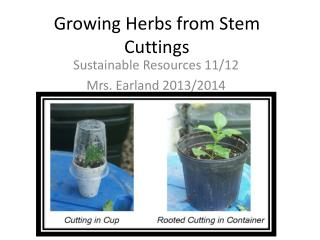 Growing Herbs from Stem Cuttings
