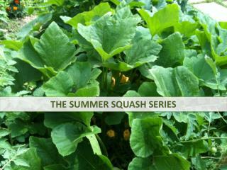 THE SUMMER SQUASH SERIES