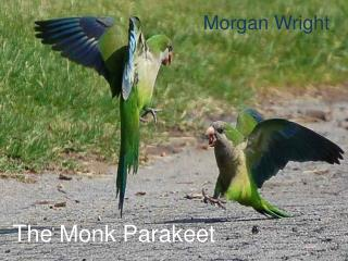 The Monk Parakeet