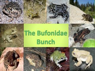 The  Bufonidae  Bunch