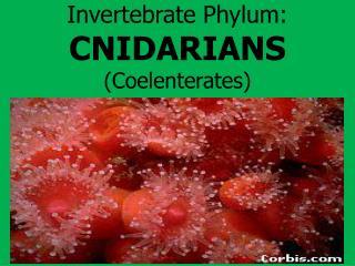 Invertebrate Phylum: CNIDARIANS (Coelenterates)