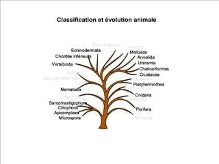 Classification et  volution animale