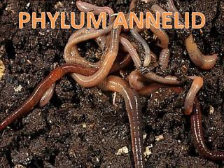 PHYLUM ANNELID