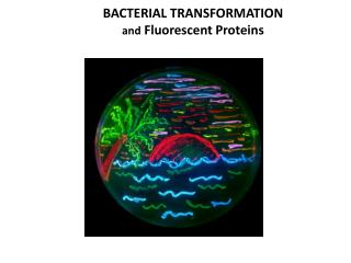 BACTERIAL TRANSFORMATION  and  Fluorescent Proteins
