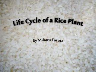 Life Cycle of a Rice Plant