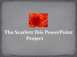 The Scarlett Ibis PowerPoint Project