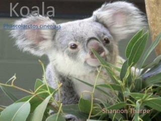 Koala Phascolarctos cinereus