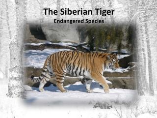 The Siberian Tiger Endangered Species