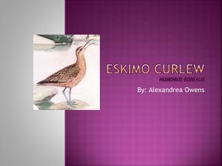 Eskimo Curlew Numenius borealis