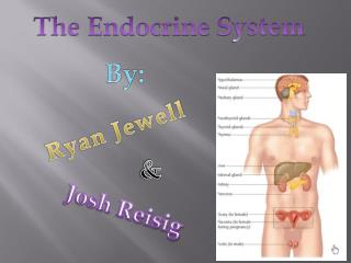 The Endocrine  S ystem