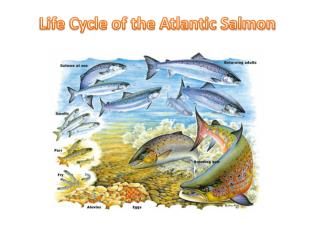 Life Cycle of the Atlantic Salmon