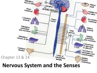 Nervous System and the Senses