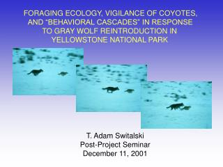 FORAGING ECOLOGY, VIGILANCE OF COYOTES,  AND  BEHAVIORAL CASCADES  IN RESPONSE  TO GRAY WOLF REINTRODUCTION IN  YELLOWST