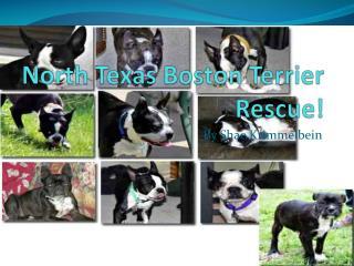 North Texas Boston Terrier Rescue!