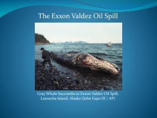 Gray Whale Succumbs to Exxon Valdez Oil Spill,  Latoucha  Island, Alaska (John Gaps III / AP)
