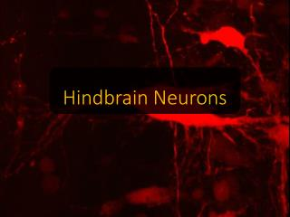 Hindbrain  Neurons