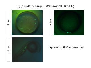 Tg (hsp70:mcherry; CMV:naos3'UTR:GFP)
