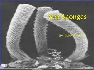 S ea Sponges