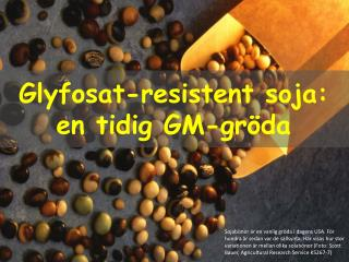 Glyfosat -resistent  soja: en tidig GM-gröda