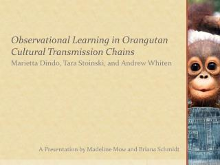 Observational Learning in Orangutan Cultural Transmission Chains