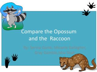 Compare the Opossum  and the  Raccoon