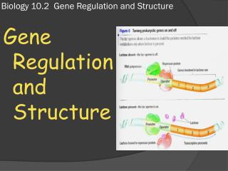 Biology 10.2  Gene Regulation and Structure