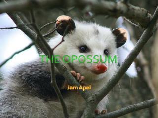 The opossum