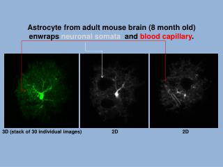 Astrocyte  from adult mouse brain (8 month old) enwraps  neuronal  somata and  blood capillary .