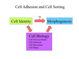 Cell Adhesion and Cell Sorting
