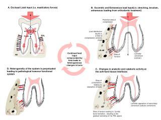 A. Occlusal  Load input (i.e. masticatory forces)