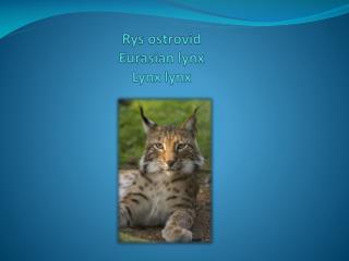 Rys ostrovid Eurasian lynx Lynx lynx