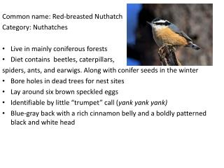 Common name: Red-breasted Nuthatch	 Category: Nuthatches Live in mainly coniferous forests