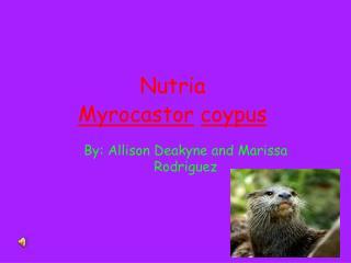 Nutria Myrocastor coypus