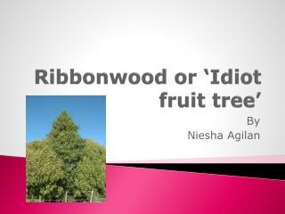 Ribbonwood or 'Idiot fruit tree'