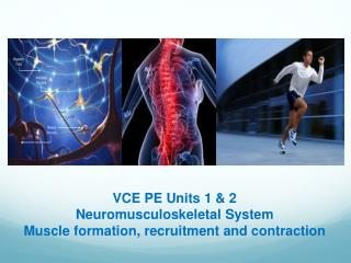 VCE PE Units 1 & 2 Neuromusculoskeletal  System Muscle formation, recruitment and contraction